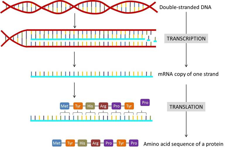 Chapter 16 The Central Dogma Genes To Traits Introduction To Molecular And Cell Biology