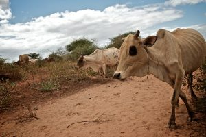 Skinny, sickly cows walking through dry dirt are shown here