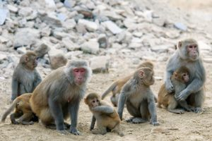A family group of rhesus monkeys, two adults and several grooming each other on rocky ground.